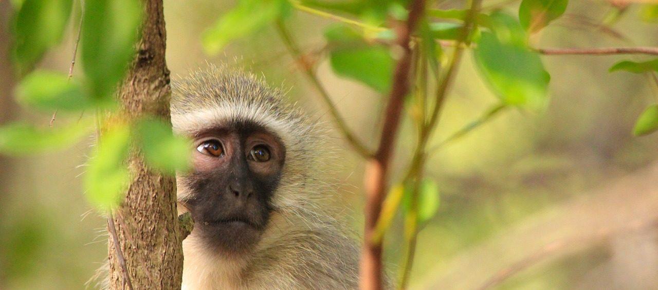 Jak schwytać małpkę